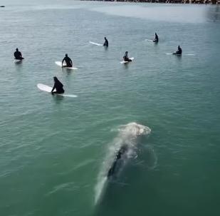 Una ballena pilla desprevenido a un grupo de surfistas en California