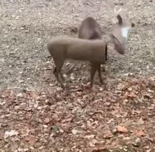 Un ciervo destruye al impostor de su hermano