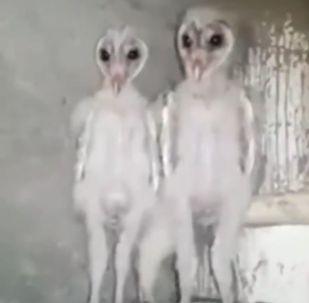 Crías de lechuza
