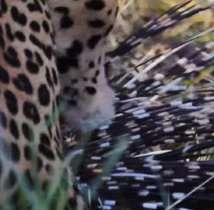 Así logra un leopardo devorar a un puercoespín