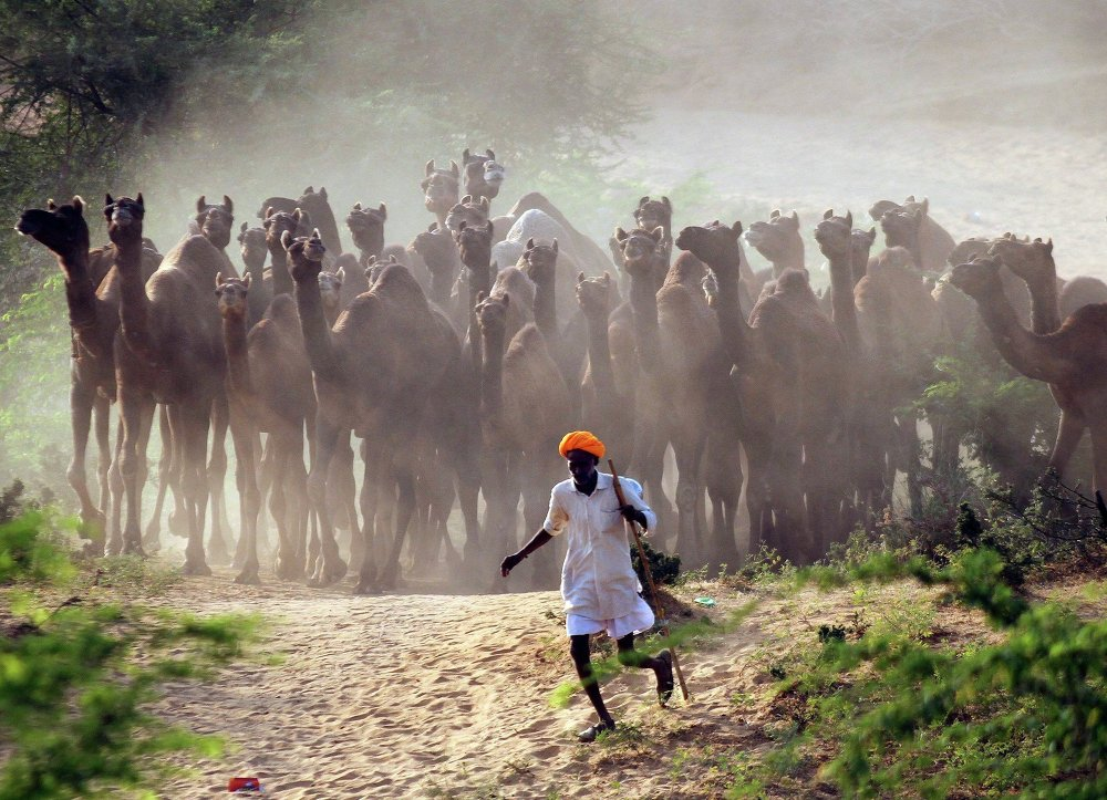 A camel herder walks his camels at Pushkar Fair in the desert Indian state of Rajasthan October 28, 2014.