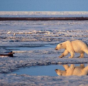 El oso polar utiliza el hielo marino para cazar sus presas