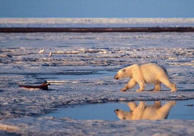 Un oso polar utiliza el hielo marino para cazar sus presas