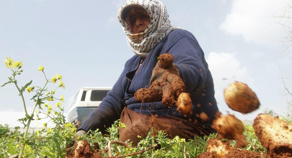 Una mujer palestina recoge patatas en Cisjordania, febrero de 1025