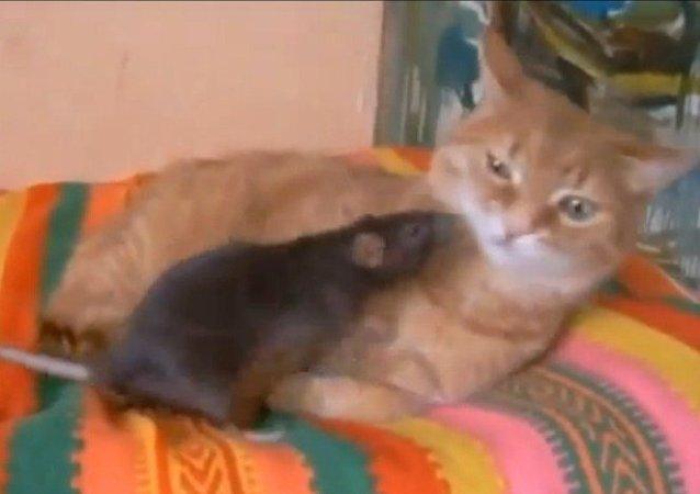 Un gato y una rata