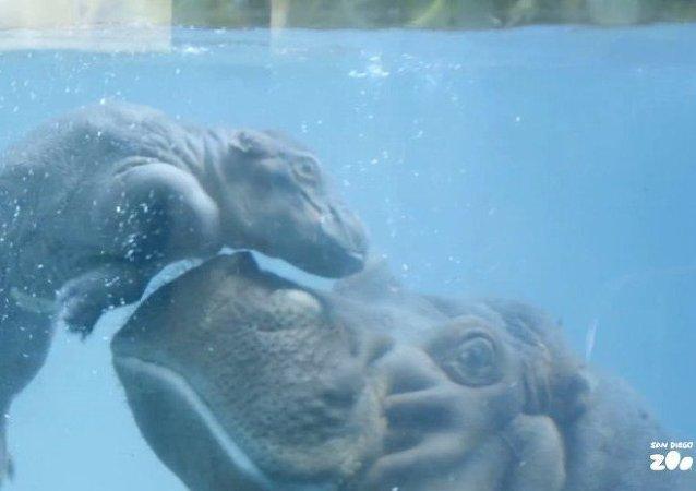 Un hipopótamo neonato aprende a andar