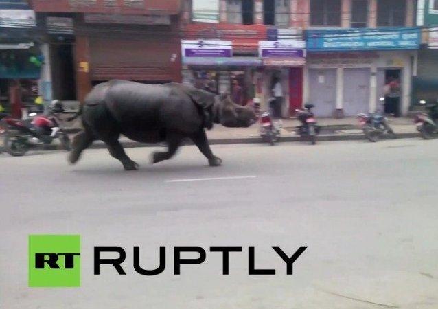 Rinoceronte se escapa de un vedado en Nepal