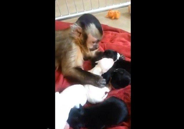 Una mona se hace cargo de cachorros de perro