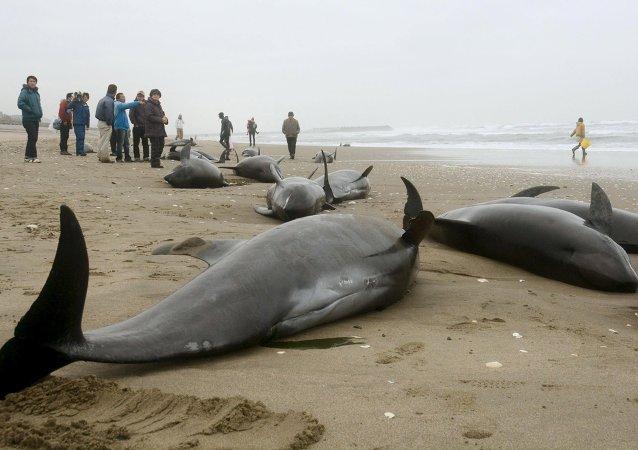 Aparecen unos 150 delfines varados en la costa oriental de Japón