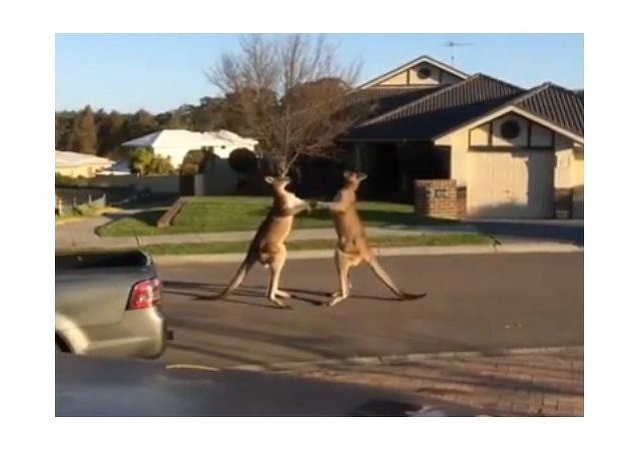 Kick boxing de canguros