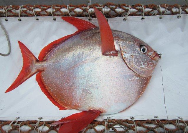 Lampris guttatus (Moonfish)