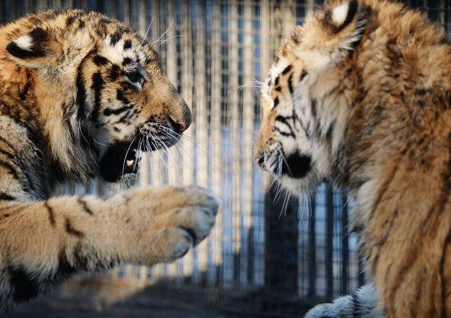 Tigres del Amur