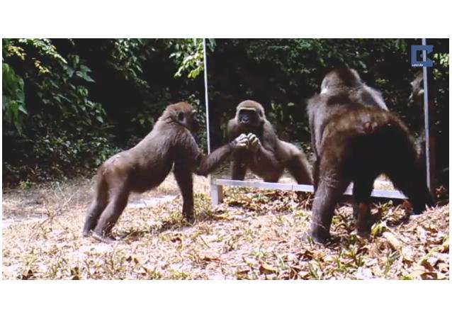 Animales salvajes ante el espejo