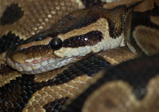 Una serpiente pitón (archivo)