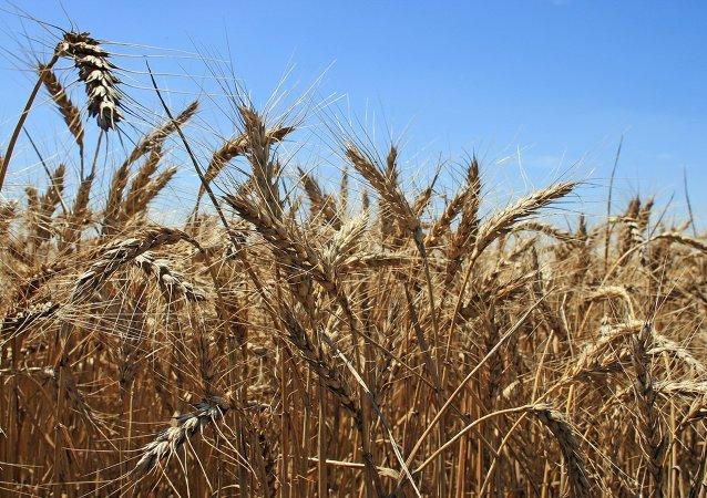 Campo de trigo en Crimea (archivo)