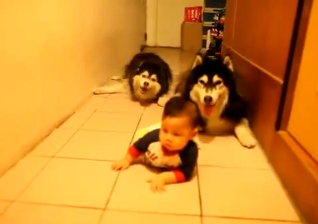 """El husky """"copión"""""""