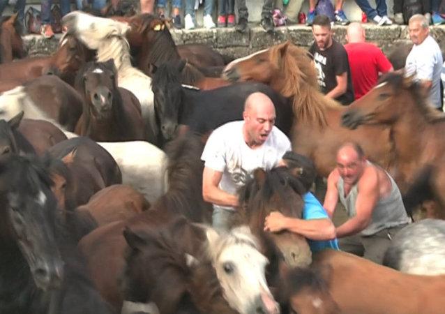 Hombres  luchan con caballos salvajes en la Rapa das Bestas