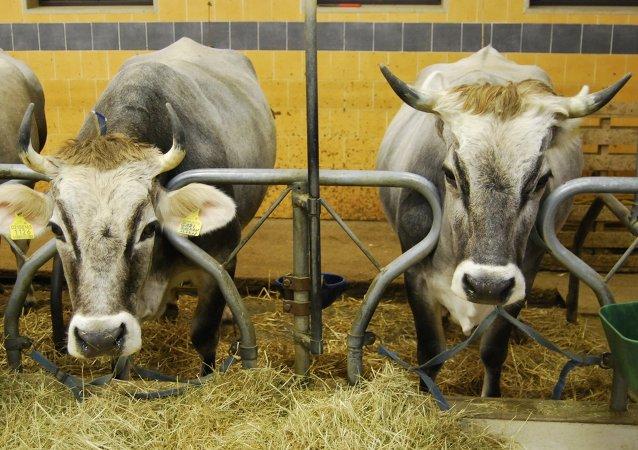 Granjeros italianos instalan duchas y climatizadores en vaquerías