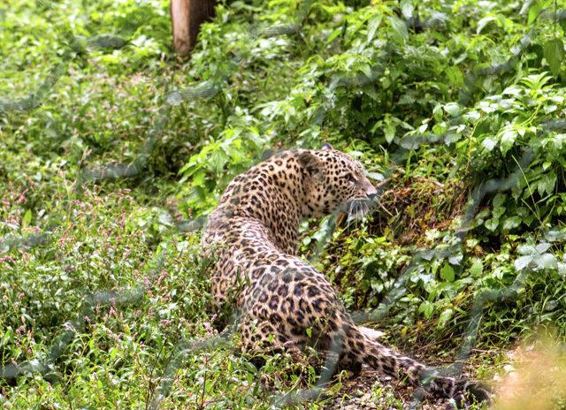 Специалисты сделали прививки котятам леопарда в Сочи