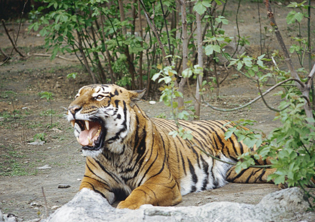 Tigre de Amur en el zoológico de Moscú