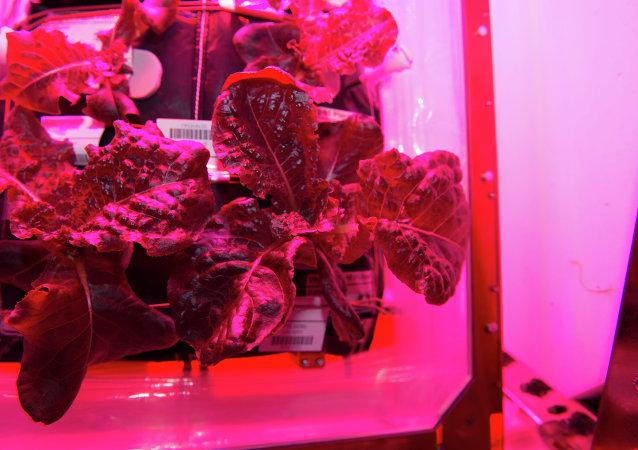 Col cultivada en el laboratorio espacial Veggie