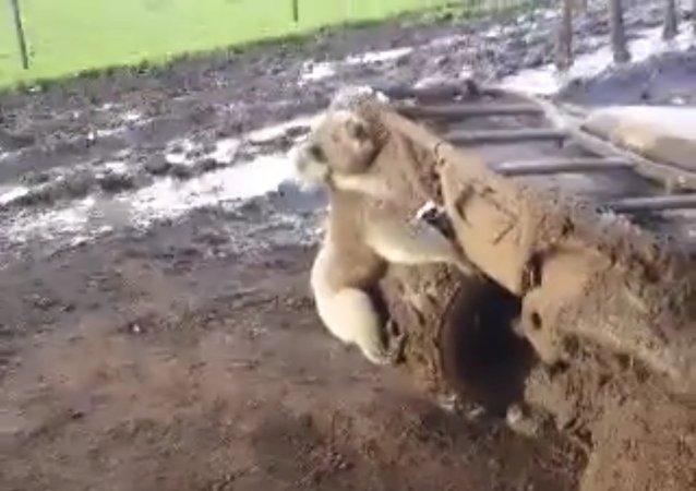 La ira de un koala