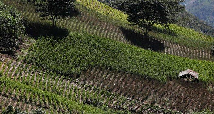 Cultivo de coca (archivo)