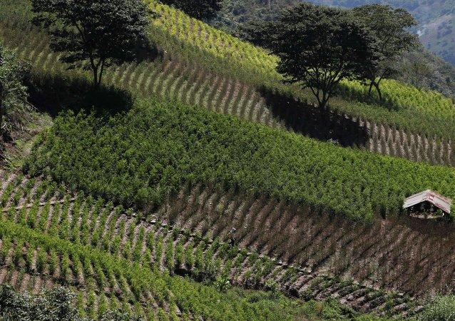 Cultivación de coca en Bolivia