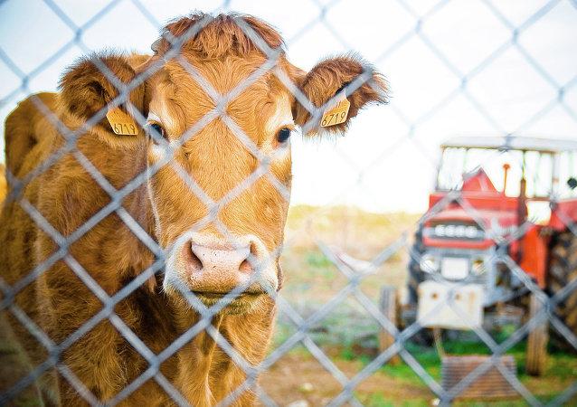 Una vaca en España