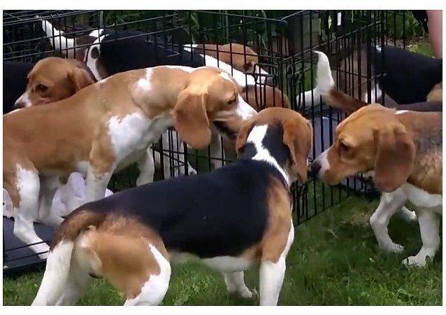 Sueltan por primera vez a 38 beagles rescatados de laboratorios