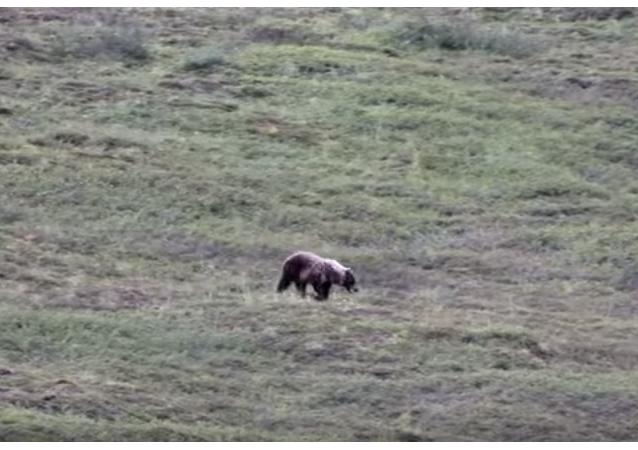 Un oso juega rodando en un monte
