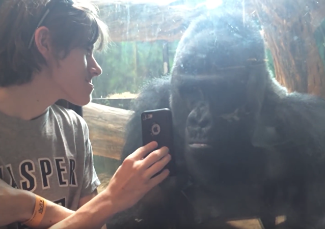 Un gorila aficionado a ver las fotos de sus hermanos en el smartphone