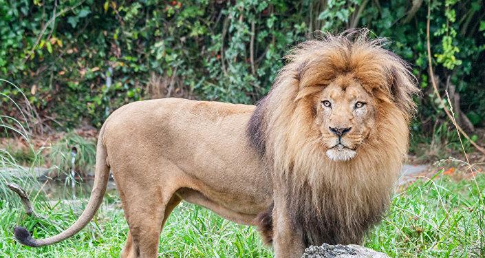 Un león (archivo)