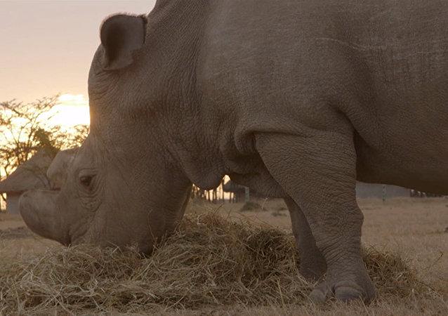 Tres de los últimos rinocerontes blancos