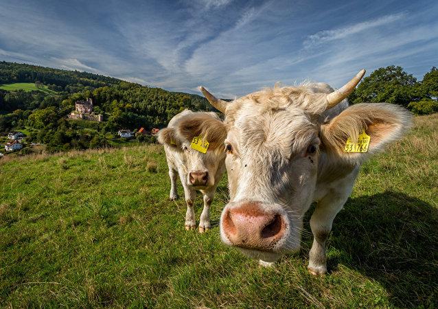 Tiendas online en la India inician venta de estiércol seco de vaca