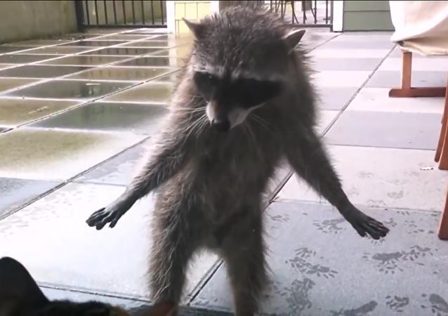 Un mapache que da miedo