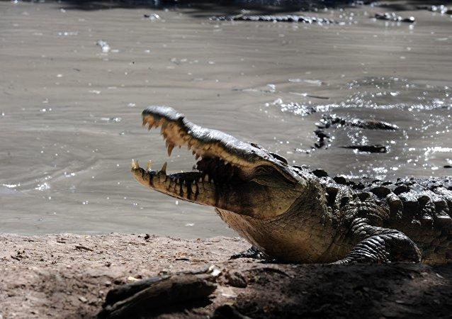 Uno de los cocodrilos de la granja perteneciente al multimillonario hondureño Jaime Rosenthal