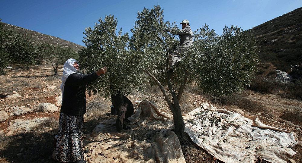 Recogida de aceitunas en Palestina