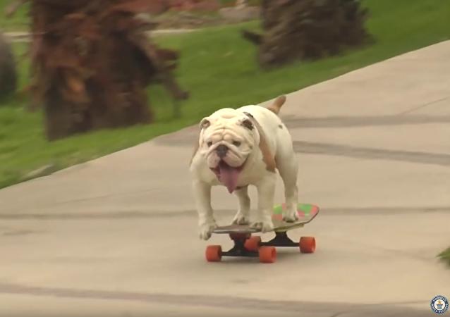 Un bulldog peruano consigue entrar en el Guinness de los Récords
