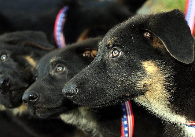 Cachorros del perro Trakr, clonado en Corea del Sur