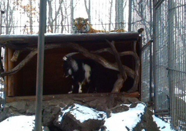 Timur y Amur en el parque safari de Primorie