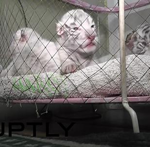 Tres pequeños tigres de Bengala en un zoo de Yalta, Crimea (Archivo)