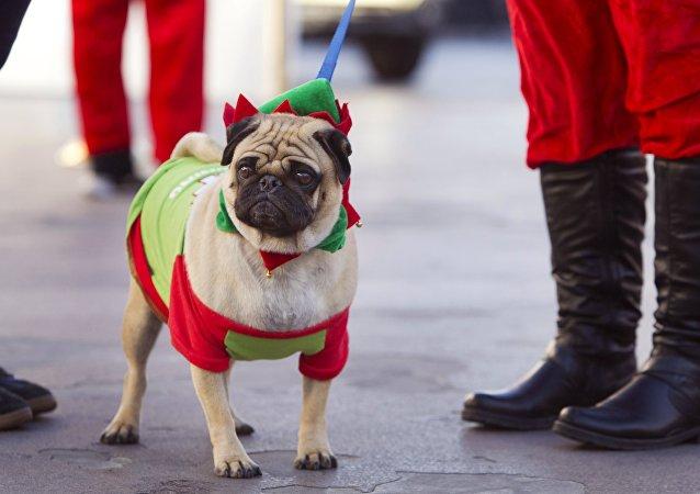 El pug es una raza canina de pequeño porte popularmete elegida como mascota