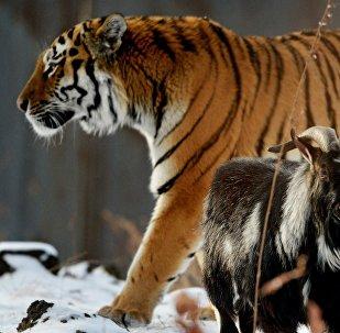 El tigre siberiano Amur y el chivo Timur