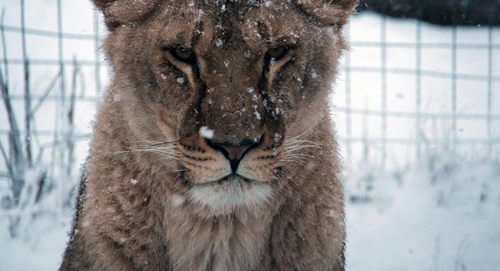 Leona en el parque safari Taigán de Belogorsk