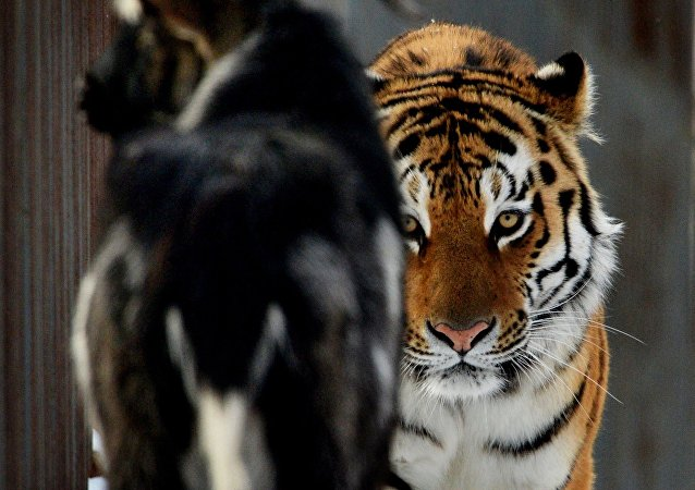 El tigre Amur y el chivo Timur