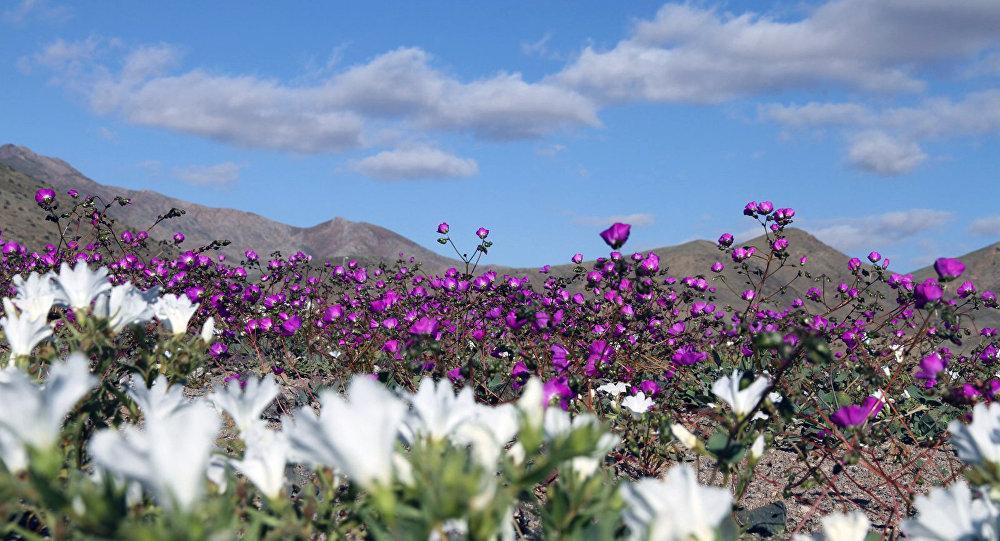 Flores en el desierto de Atacama como consecuencia de El Niño