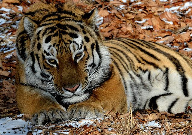 El tigre siberiano Amur
