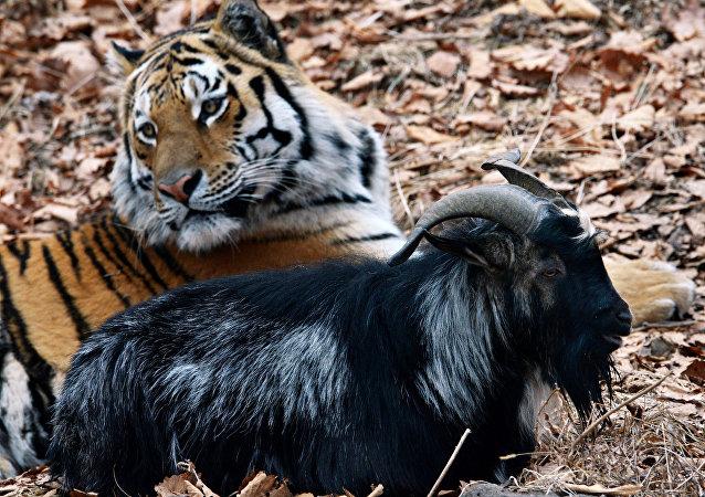 Tigre Amur y chivo Timur