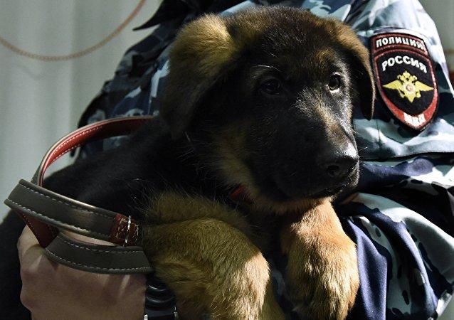 Perro policía ruso Dobrinia